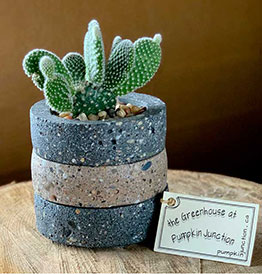 Angel Ears Cactus in layered concrete pot.
