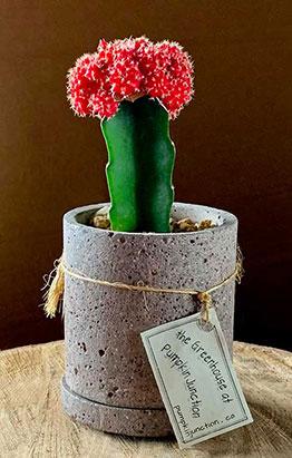 Red Moon Cactus in round concrete container.