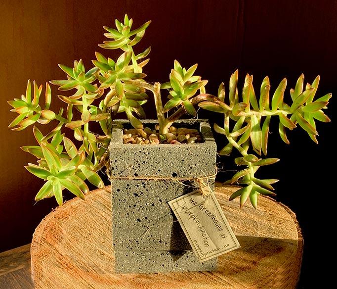 Firestorm Sedum in rectangular concrete pot.